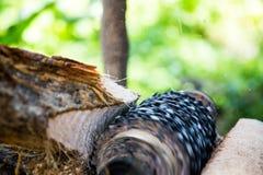 Malande ätlig palmträd Arkivfoton