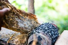 Malande ätlig palmträd Royaltyfri Foto