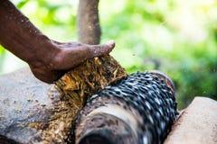 Malande ätlig palmträd Fotografering för Bildbyråer