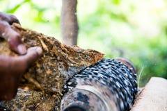 Malande ätlig palmträd Royaltyfri Fotografi