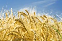 malande sikt för korn öron Arkivbilder