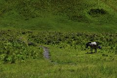 Unreconized people. Scenic Green grass field view of rolling countryside green farm fields with horse. MALANG, EAST JAVA, INDONESIA, APRIL 2, 2019 : Unreconized royalty free stock photography