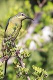 Malaquita Sunbird fotografía de archivo