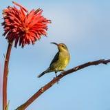 Malaquite fêmea Sunbird Foto de Stock Royalty Free
