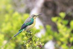 Malaquite Sunbird fotografia de stock