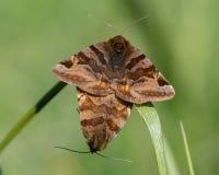 Malar för Burnet följeEuclidia glyphica i snut Royaltyfri Fotografi