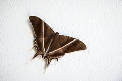 Malar fjäril Arkivfoto
