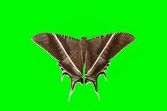 Malar fjäril Royaltyfri Bild