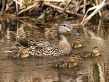 Malard Duck Family Royalty Free Stock Photography