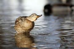 Malard ducks in water blur Royalty Free Stock Photography