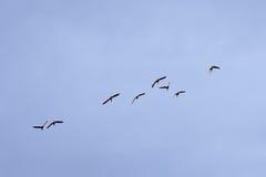 Malards在飞行中在软的蓝天-语录platyrhynchos 免版税库存照片