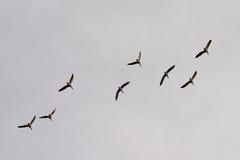 Mallards in flight on a grey cloudy sky - Anas platyrhynchos. Eight wild ducks flying, cloudy sky -  Anas platyrhynchos Royalty Free Stock Photo