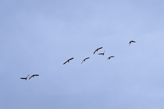 Malards in flight on a soft blue sky - Anas platyrhynchos. Eight wild ducks flying on a blue sky -  Anas platyrhynchos Royalty Free Stock Photo