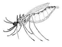Malaria- anophelesmygga dra bild Arkivfoto