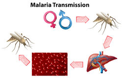 Malaria Transmission diagram with no text Stock Photography