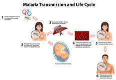 Malaria Transmission and Life cycle Stock Image