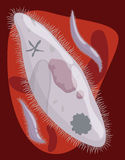 Malarian Plasmodium across Bloodstream, Vector Illustration royalty free illustration