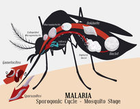 Malarian Plasmodium Life Cycle: Mosquito Infection, Vector Illustration. Female mosquito stage of malarian plasmodium cycle Royalty Free Stock Images