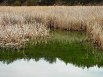 Malas hierbas altas que reflejan en el río fotografía de archivo libre de regalías