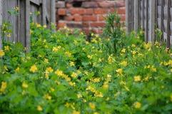 Malas hierbas amarillas en el callejón 8 fotos de archivo libres de regalías