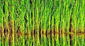 Malas hierbas cerca de una charca Foto de archivo libre de regalías