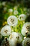 Malas hierbas de Dandylion en el crecimiento del campo Fotografía de archivo libre de regalías