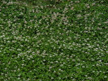Malas hierbas de la hierba del trébol Fotos de archivo libres de regalías