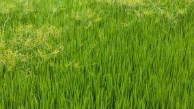 Malas hierbas de la hierba verde en campos del arroz Imágenes de archivo libres de regalías