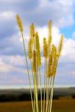 Malas hierbas del cereal de la inflorescencia Fotos de archivo