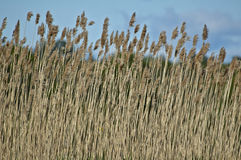 Malas hierbas del pantano Fotos de archivo libres de regalías
