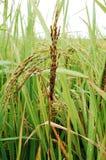 Malas hierbas en arroz imagenes de archivo