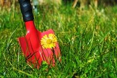 Malas hierbas en el césped, pala roja del jardín detrás del coltsfoot en el gra Foto de archivo