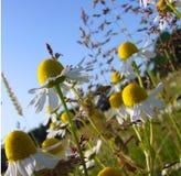Malas hierbas hermosas del verano Imagen de archivo libre de regalías