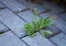 Malas hierbas que crecen alrededor de la pavimentación Fotos de archivo