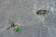 Malas hierbas que crecen en grietas en muro de cemento Fotografía de archivo libre de regalías