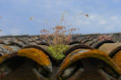 Malas hierbas que crecen en las tejas de tejado viejas Imágenes de archivo libres de regalías