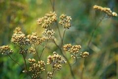 Malas hierbas secas hermosas con las semillas Imagen de archivo libre de regalías