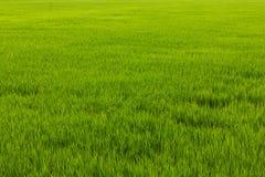Malas hierbas verdes en arroz Imagen de archivo libre de regalías
