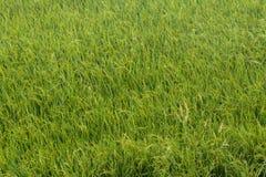 Malas hierbas y campos del arroz Foto de archivo