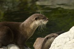 Malasian short clawed Otter Stock Photos