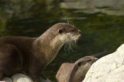 Malasian short clawed Otter Stock Photos