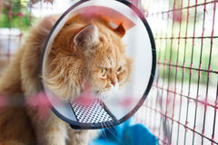 Malato del gatto di Persia fotografia stock