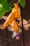 Malattia dell'uva Immagini Stock Libere da Diritti