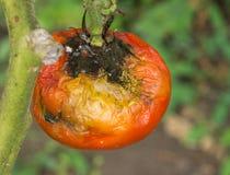 Malattia della frutta del pomodoro Fotografie Stock