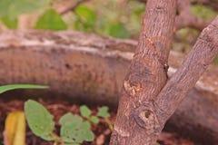Malattia della putrefazione del gambo dell'agrume fotografia stock libera da diritti