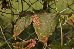 Malattia di lunghezza della foglia del fagiolo dell'iarda dai funghi Immagini Stock Libere da Diritti