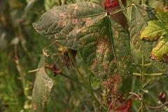 Malattia di lunghezza della foglia del fagiolo dell'iarda dai funghi Immagine Stock