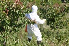 Malattia e gestione dell'insetto nel frutteto di frutta Immagini Stock