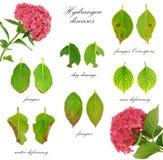 Malattie del fiore di macrophylla del Hydrangea Fotografie Stock Libere da Diritti