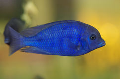 Malawi Blue Dolphin aquarium fish. Malawi Blue Dolphin is aquarium fish stock image